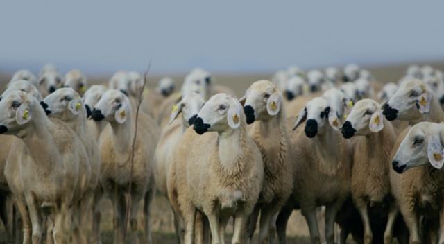300 koyun projesinde başvurular yarın sona erecek