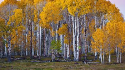 İltihaplara karşı huş ağacı